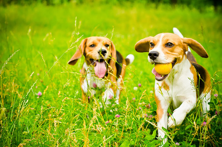 Beagles running through a field