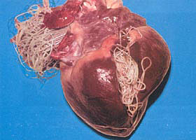 Heartworm Picture